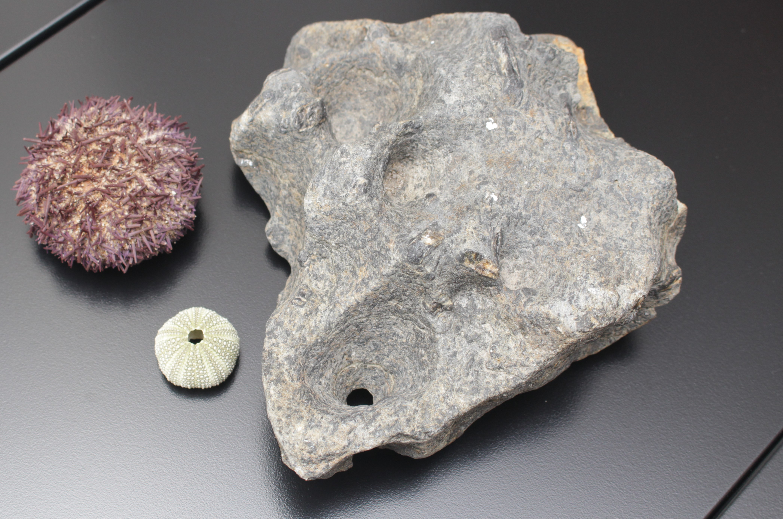 Icnofósseis de Paracentrotus lividus – Marcas de ouriço-do-mar